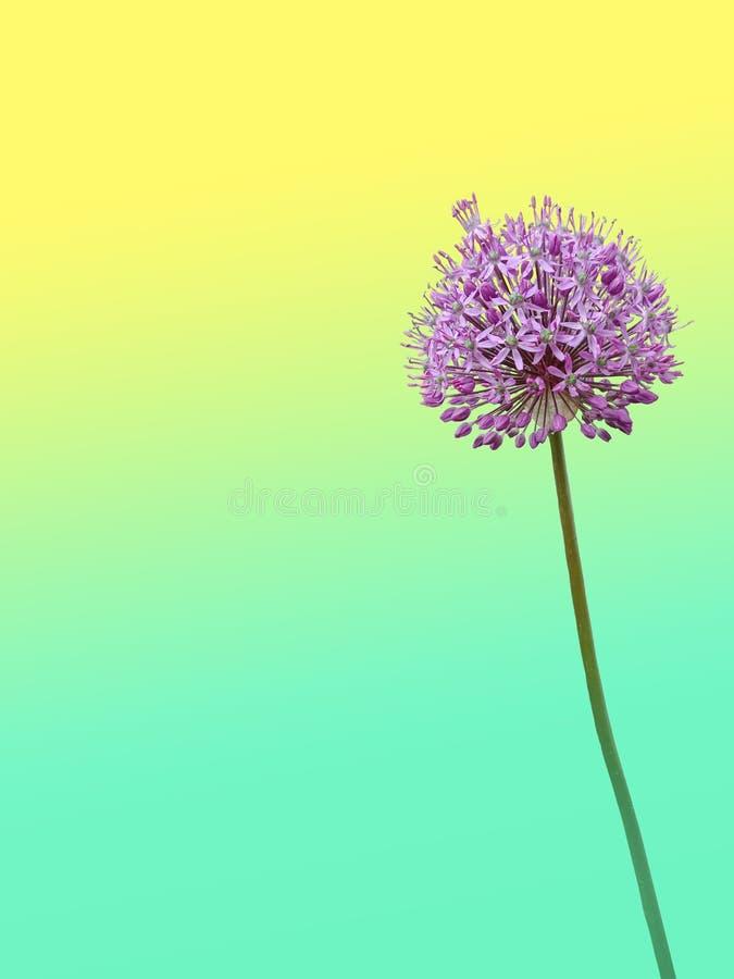 La fleur est un gladiateur d'allium sur un double fond de jaune-turquoise image libre de droits