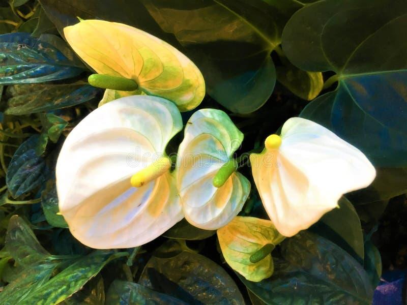 La fleur et la feuille de flamant blanches sont fond photos stock