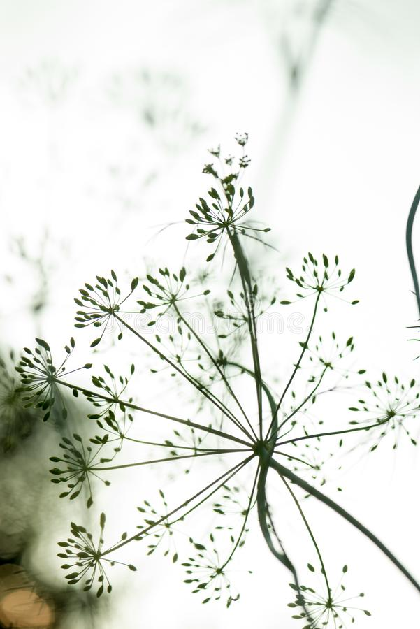 La fleur et l'aneth plantent les graines en gros plan, s'?levant dans le jardin images stock