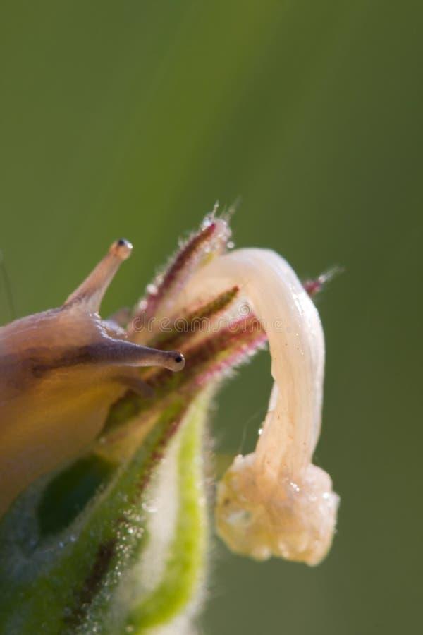 La fleur et l'escargot photographie stock