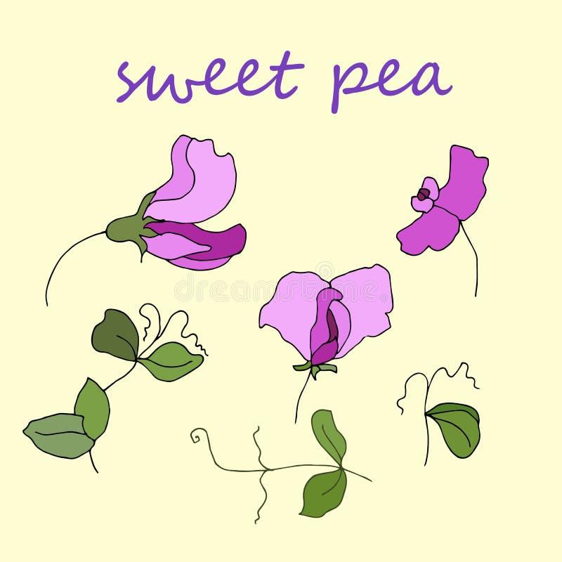 La fleur et les feuilles de pois doux de flore de jardin ont isolé le vecteur illustration stock