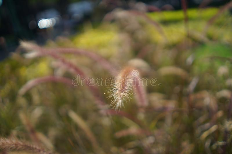 La fleur haute étroite d'herbe, brouillent le fond brun vert image stock