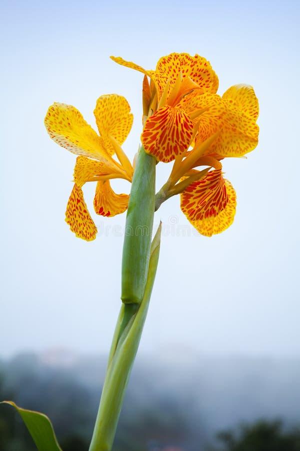 La fleur indienne lumineuse de lis de canna, se ferment  photographie stock