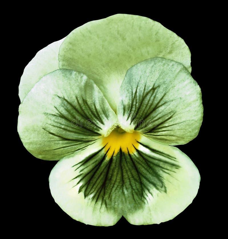 La fleur a isolé la pensée verte sur le fond noir aucune ombres closeup photos libres de droits