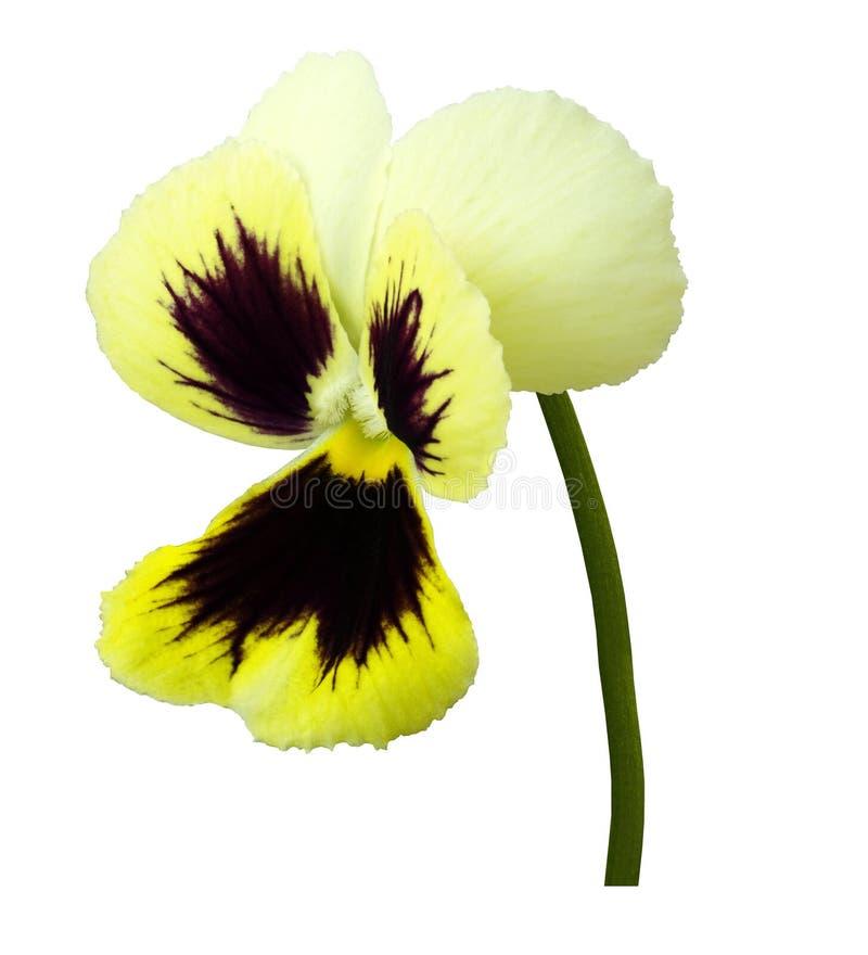 La fleur jaune-bordo de pensée sur un blanc a isolé le fond avec le chemin de coupure Plan rapproché aucune ombres images libres de droits