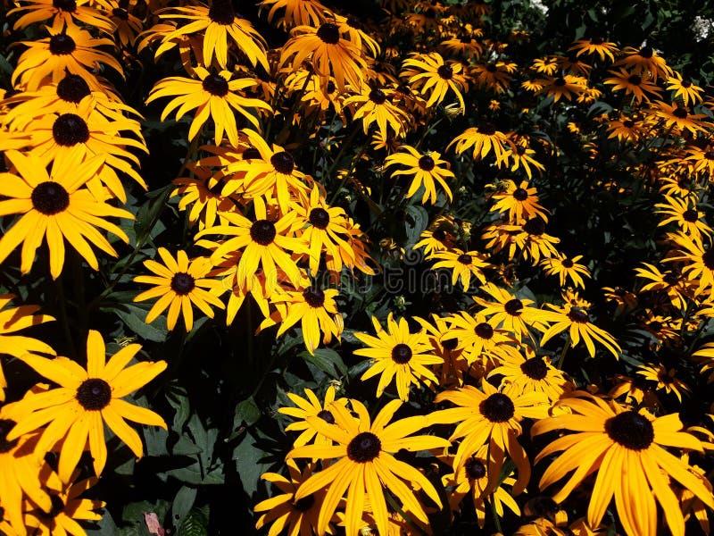 La fleur jaune d'or de Rudbeckia savent également en tant que Susan observée noire ou Coneflower photo libre de droits