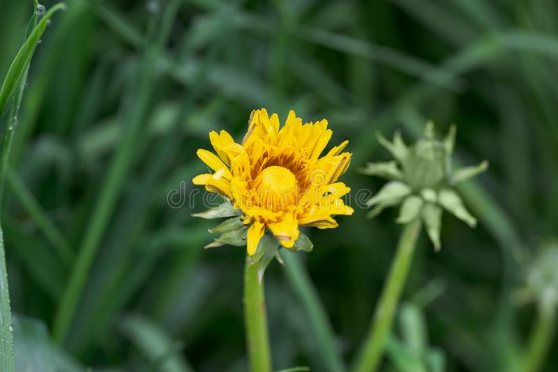 La fleur jaune fleurit pissenlit parmi l'herbe verte image libre de droits
