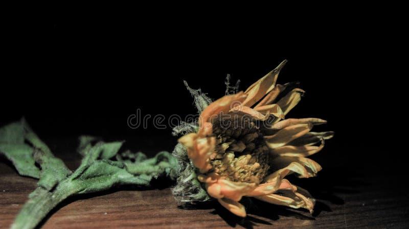 La fleur jaune morte se défraîchissent images stock