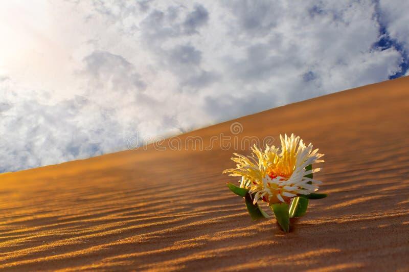 La fleur jaune se développe sur une dune de sable dans le désert photos stock