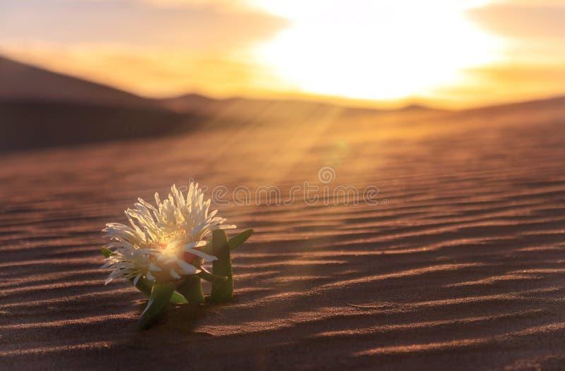 La fleur jaune se développe sur une dune de sable dans le désert photos libres de droits