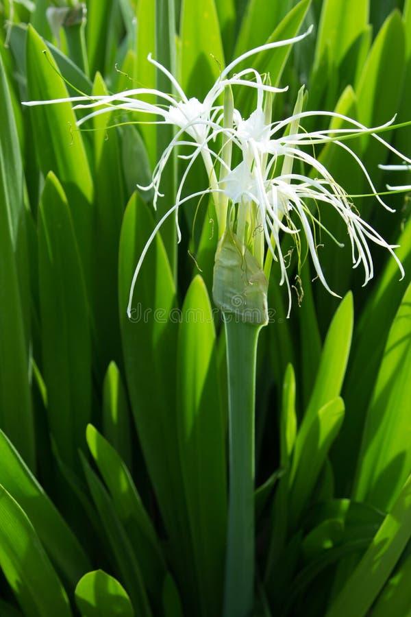 La fleur lucide blanche est grève les yeux avec les nombreux le vert photo libre de droits