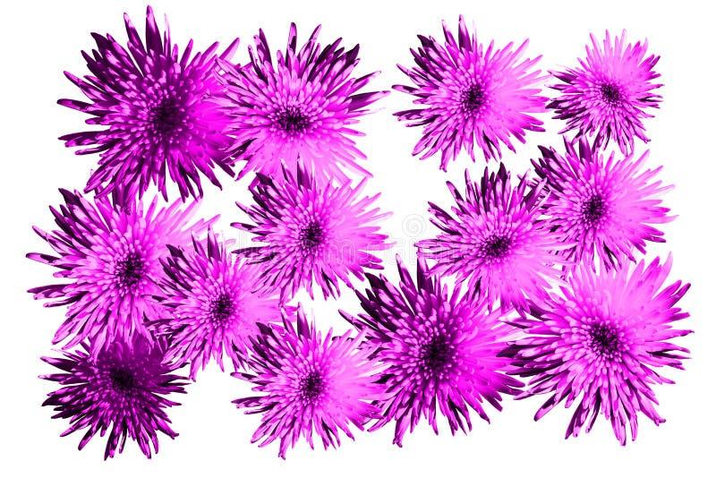 La fleur lumineuse de modèle floral fleurit les asters, chrysanthèmes dans la couleur rose, tendance du raisin de scintillement 1 image libre de droits