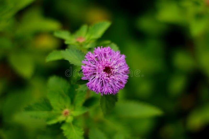 La fleur pourprée photographie stock libre de droits