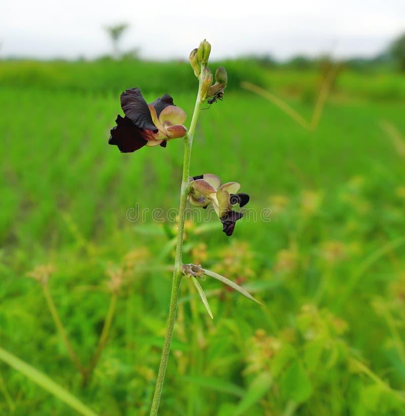 La fleur pourpre foncée sauvage se développe parmi des mauvaises herbes Fleur noire de fleur images libres de droits