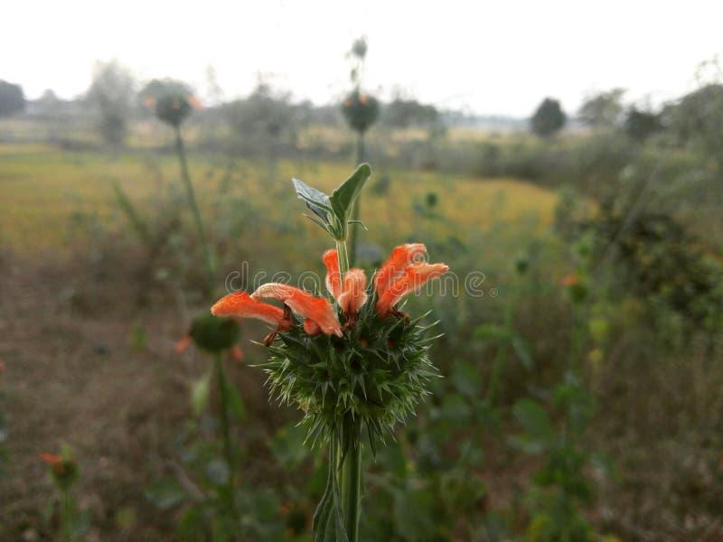 La fleur régionale indienne jettent un coup d'oeil à la beauté de la nature photographie stock