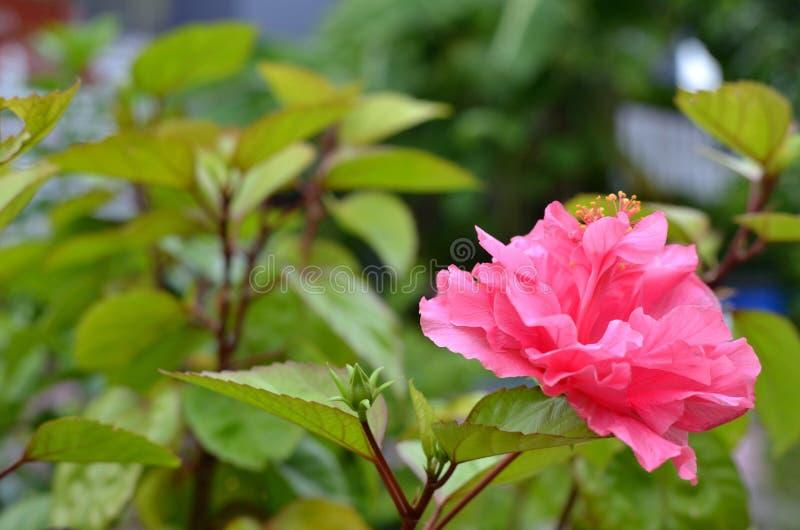 La fleur rose, Chine s'est levée, fleur de chaussure, le syriacus chinois L de ketmie de ketmie images stock