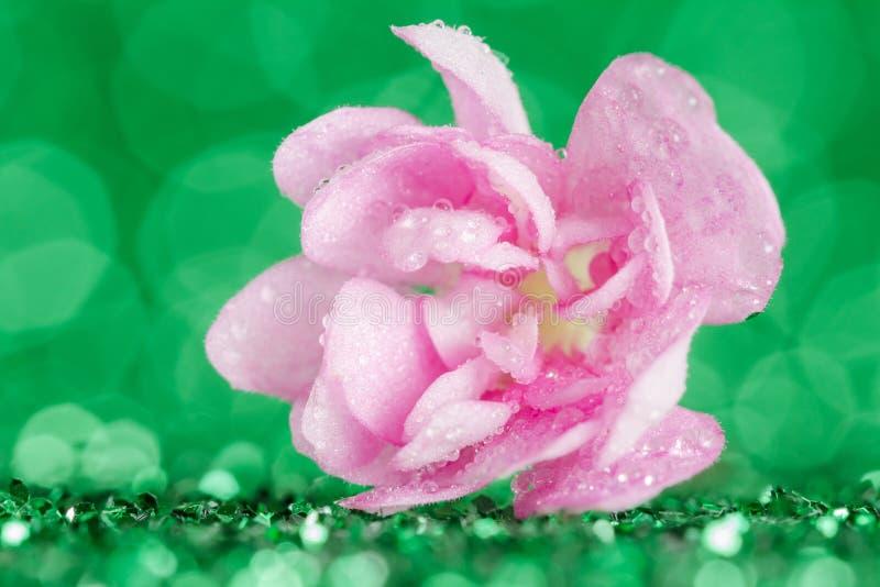 La fleur rose d'alto dans l'eau laisse tomber le plan rapproché sur le fond vert avec l'effet de bokeh photographie stock