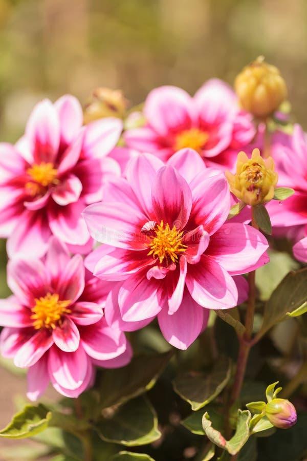 La fleur rose de dahlia a appelé Fascination photo libre de droits