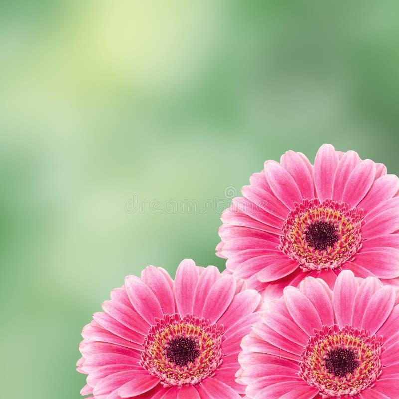 La fleur rose de gerbera, se ferment, fond coloré de degradee Famille de marguerite image stock