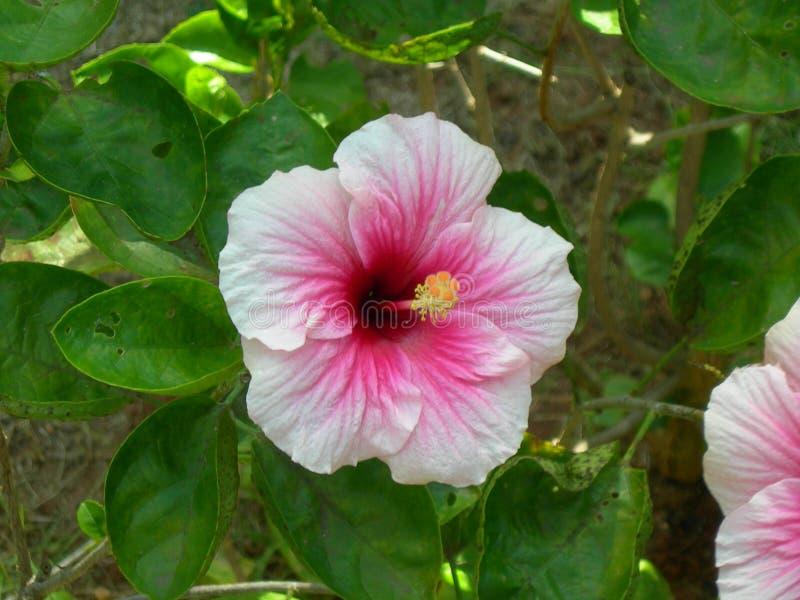 La fleur rose de ketmie image stock
