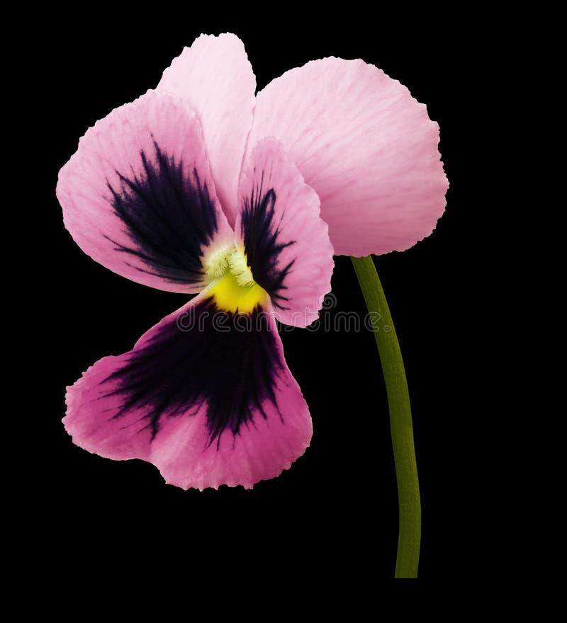 La fleur rose de pensée sur le noir a isolé le fond avec le chemin de coupure Plan rapproché aucune ombres photographie stock