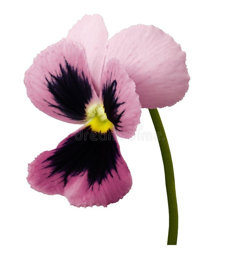 La fleur rose de pensée sur un blanc a isolé le fond avec le chemin de coupure Plan rapproché aucune ombres images libres de droits