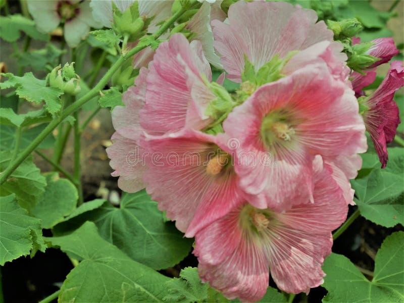 La fleur rose de rosea d'Althaea de flowersor de roses trémière fleurit un jour d'été dans le jardin photos stock