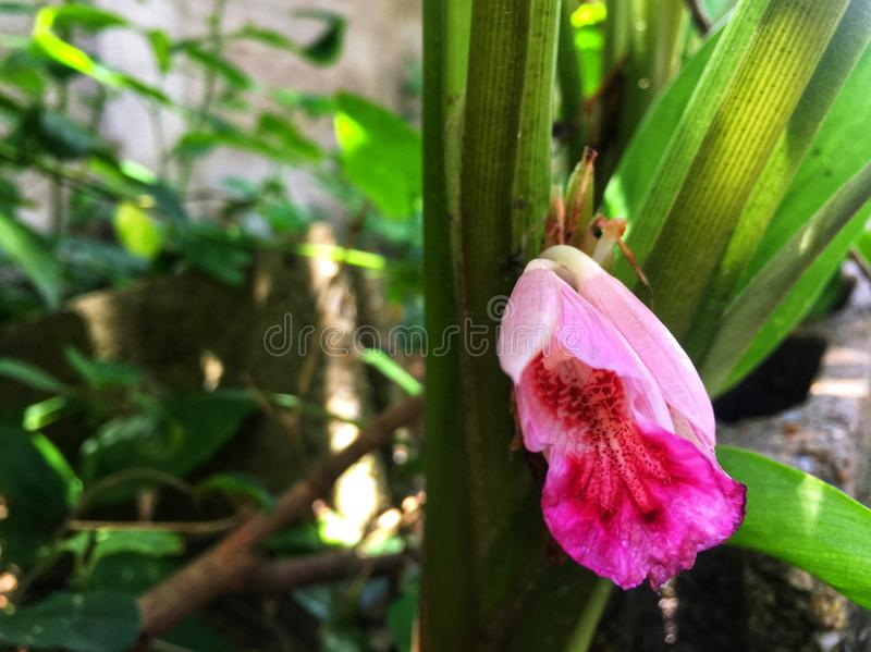 La fleur rose fraîche de galanga est fleur sur la pousse dans le jardin photographie stock libre de droits