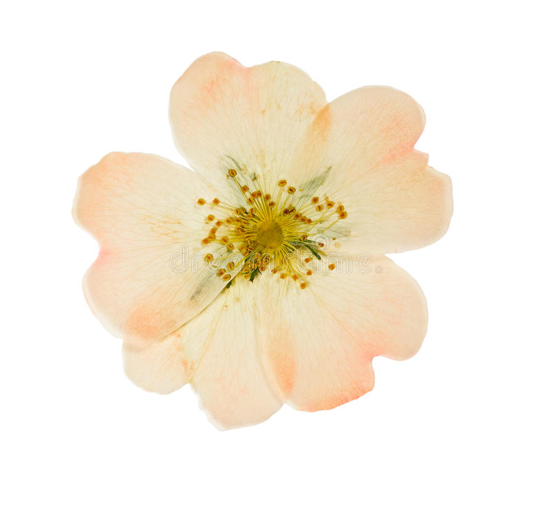 La fleur rose pressée et sèche sauvage s'est levée D'isolement photo libre de droits