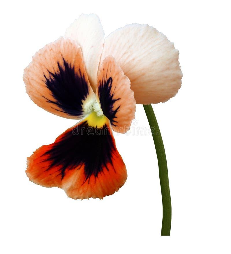 La fleur rose-violette de pensée sur un blanc a isolé le fond avec le chemin de coupure Plan rapproché aucune ombres images stock
