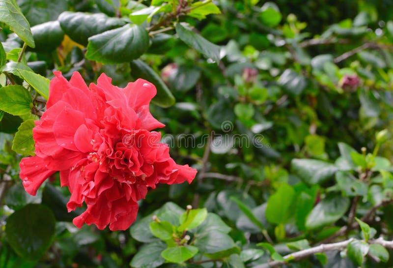 La fleur rouge, Chine s'est levée, fleur de chaussure, le syriacus chinois L de ketmie de ketmie photographie stock