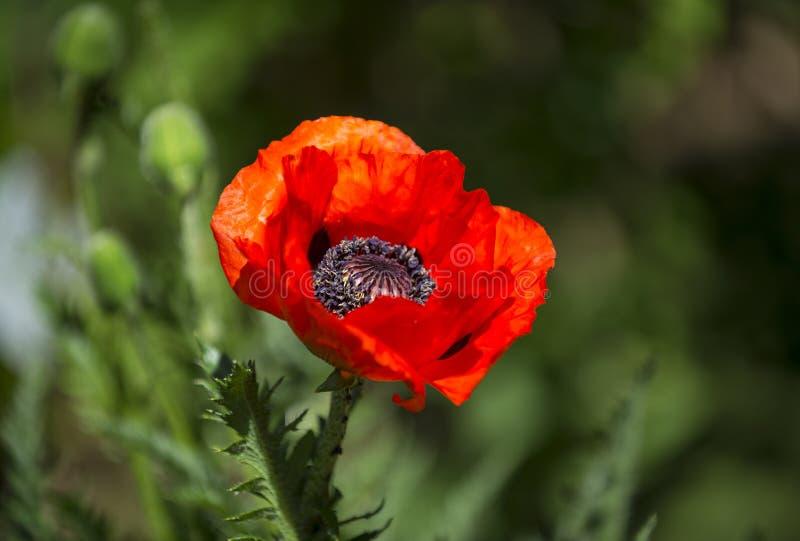 La fleur rouge de pavot, se ferment dans le jardin avec le fond vert trouble photos stock