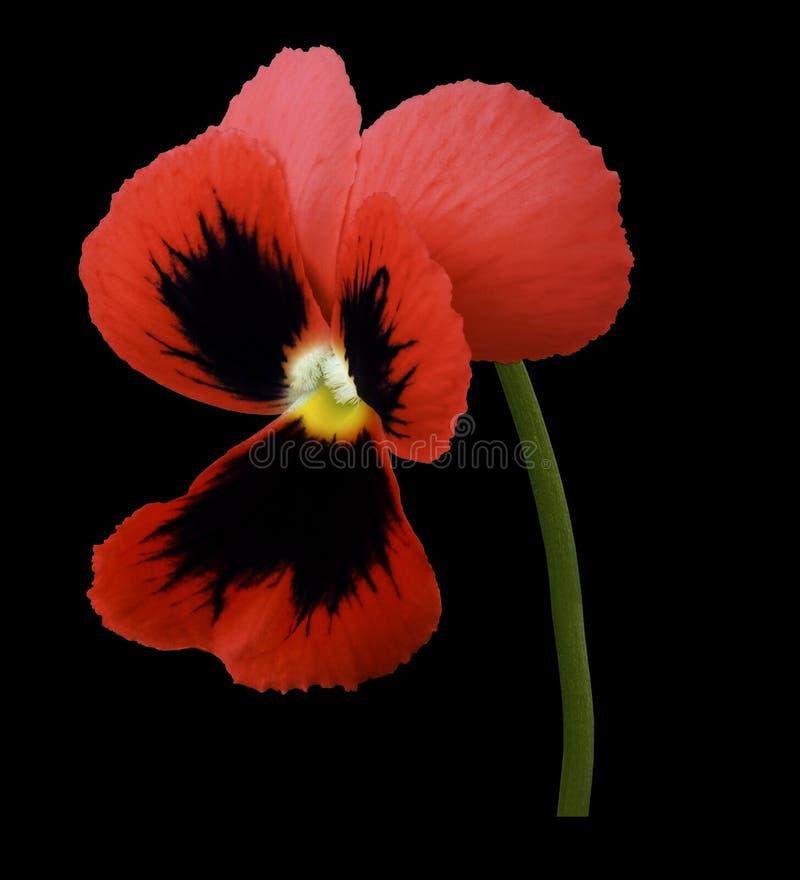 La fleur rouge de pensée sur le noir a isolé le fond avec le chemin de coupure Plan rapproché aucune ombres photo libre de droits