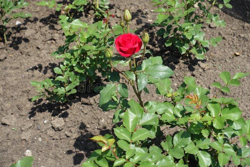 La fleur rouge de s'est levée en mai photographie stock libre de droits