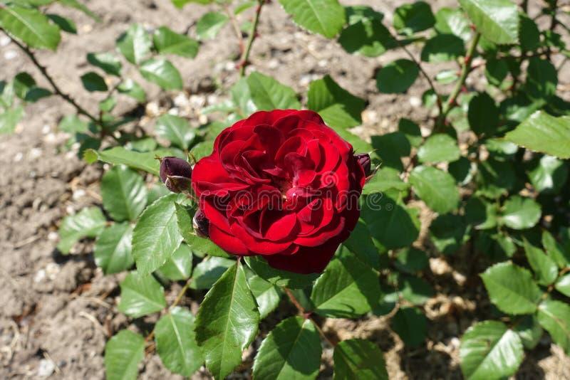 La fleur rouge fonc? de s'est lev?e photos libres de droits
