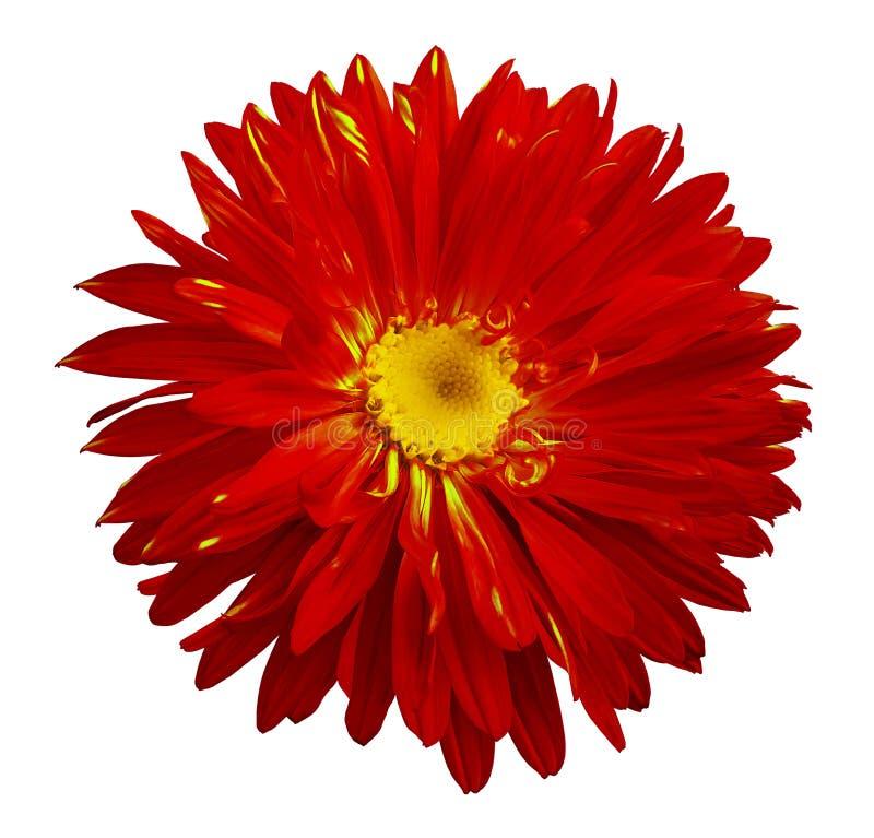 La fleur rouge-jaune d'aster d'automne sur un blanc a isolé le fond avec le chemin de coupure Fleurissez pour la conception, text images libres de droits