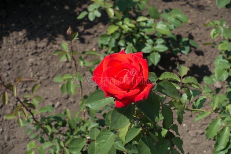 La fleur rouge simple de s'est levée en mai photo libre de droits