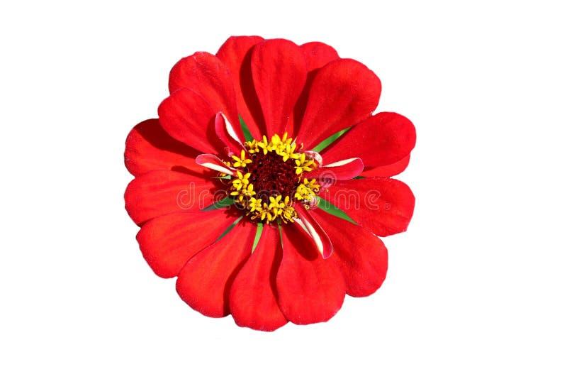 La fleur rouge vibrante de gerbera a photographié le plan rapproché sur un fond blanc photo libre de droits