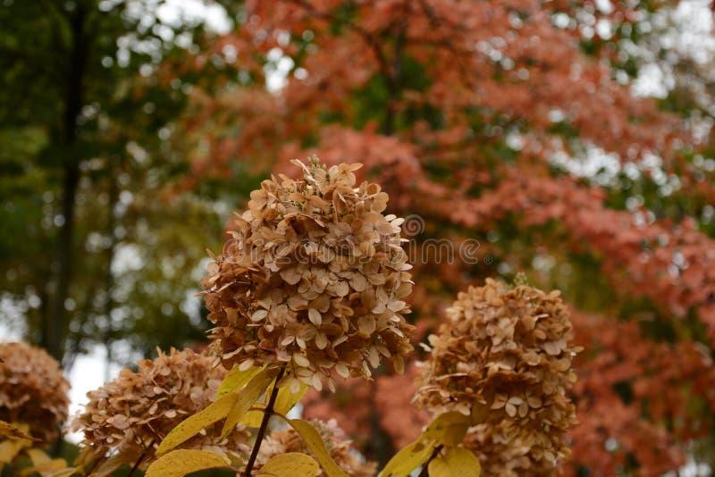 La fleur sèche et luxuriante est un symbole d'automne photographie stock