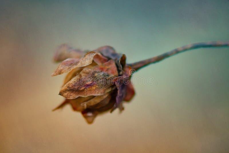La fleur sèche rayonne au soleil sur le pré image libre de droits