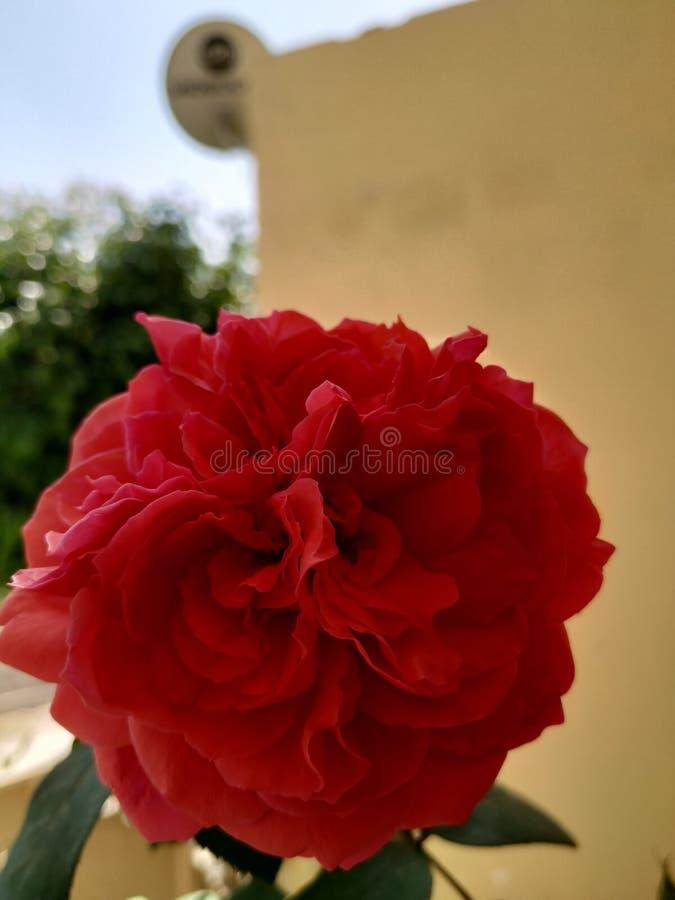 La fleur s'est lev?e images stock