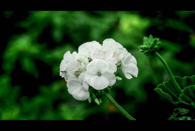La fleur sauvage minuscule blanche greeen dessus le fond photos stock