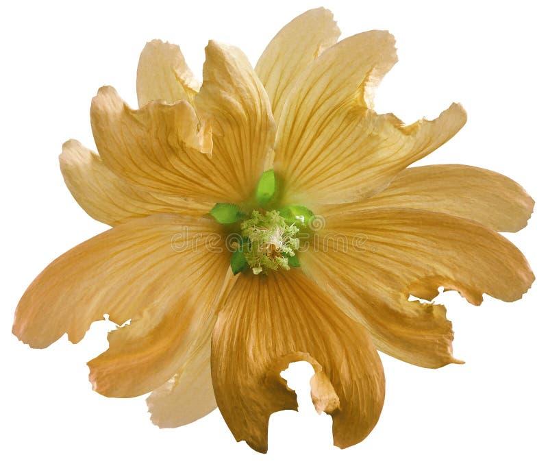 La fleur sauvage orange de mauve sur un blanc a isolé le fond avec le chemin de coupure closeup Élément de conception image stock