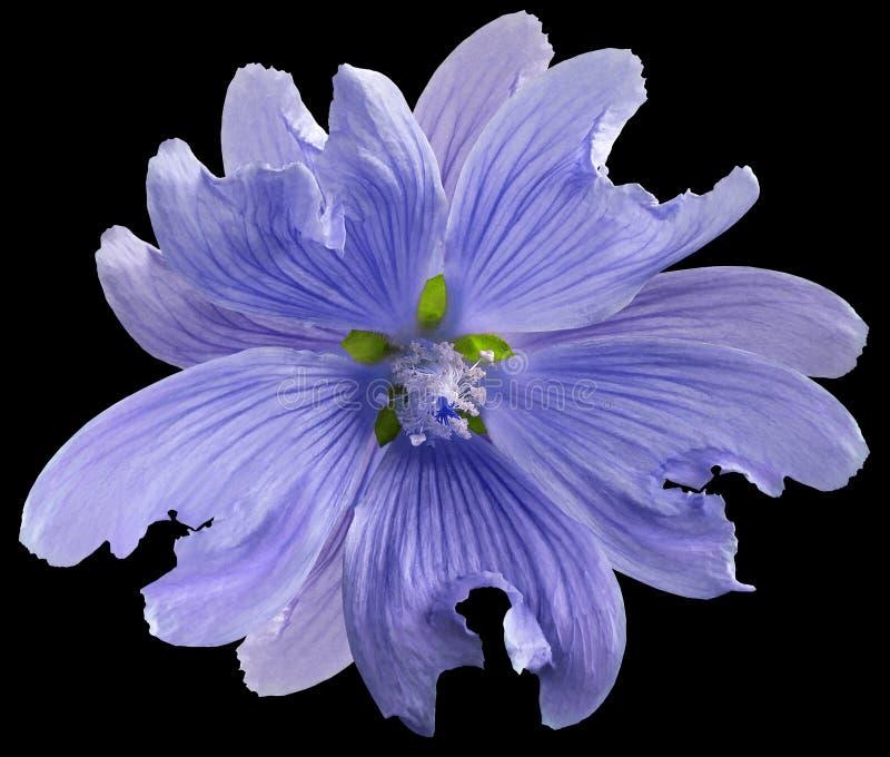 La fleur sauvage pourpre de mauve sur le noir a isolé le fond avec le chemin de coupure closeup Élément de conception image libre de droits