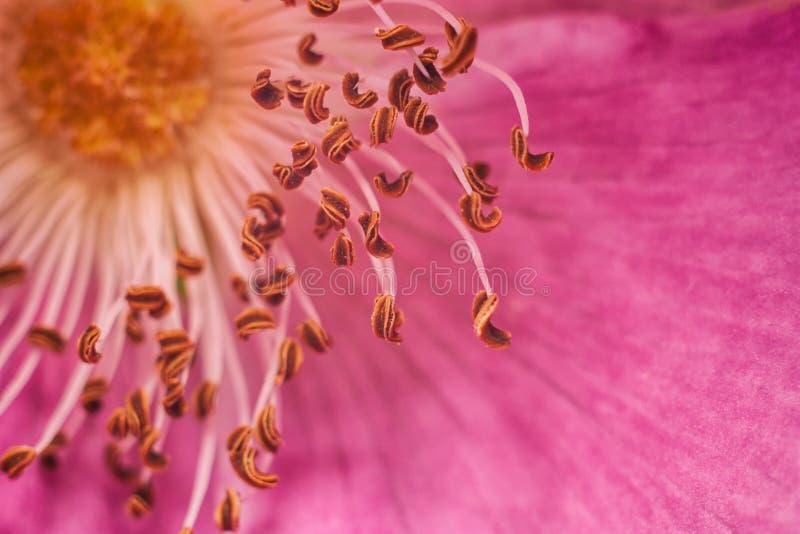 Download La Fleur Sauvage S'est Levée Photo stock - Image du assez, buisson: 77158856