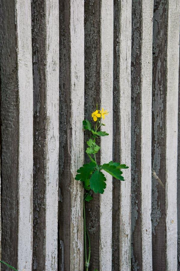 La fleur se développe par une barrière photographie stock