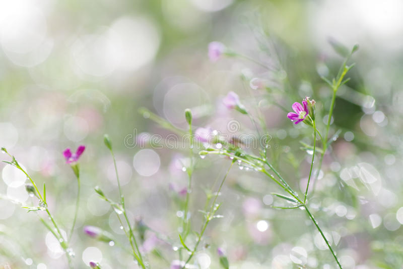 La flor abstracta de la primavera empañó el fondo del pur minúsculo del Gypsophila fotografía de archivo