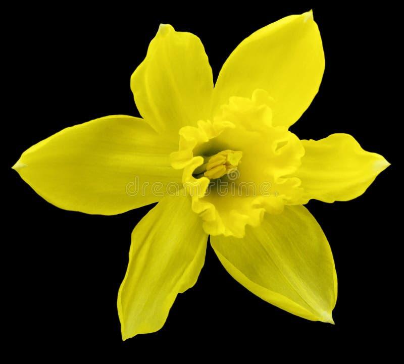 La flor amarilla del narciso en negro aisló el fondo con la trayectoria de recortes Ningunas sombras primer foto de archivo