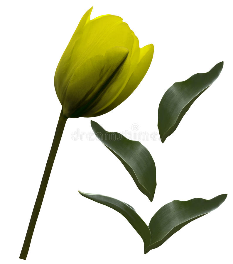 La flor amarilla del tulipán y las hojas verdes en un blanco aislaron el fondo con la trayectoria de recortes primer Ningunas som foto de archivo