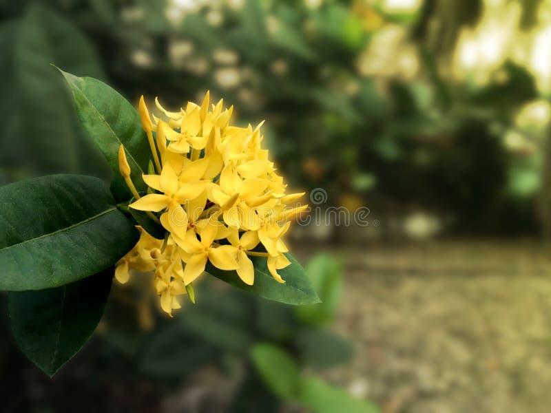 La flor amarilla hermosa del ixora está floreciendo en el jardín fotografía de archivo